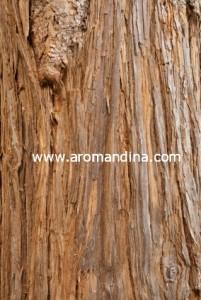 Closeup of the cortical of a spruce (fir).